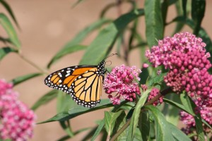Mature Monarch sips Red Milkweed Nectar