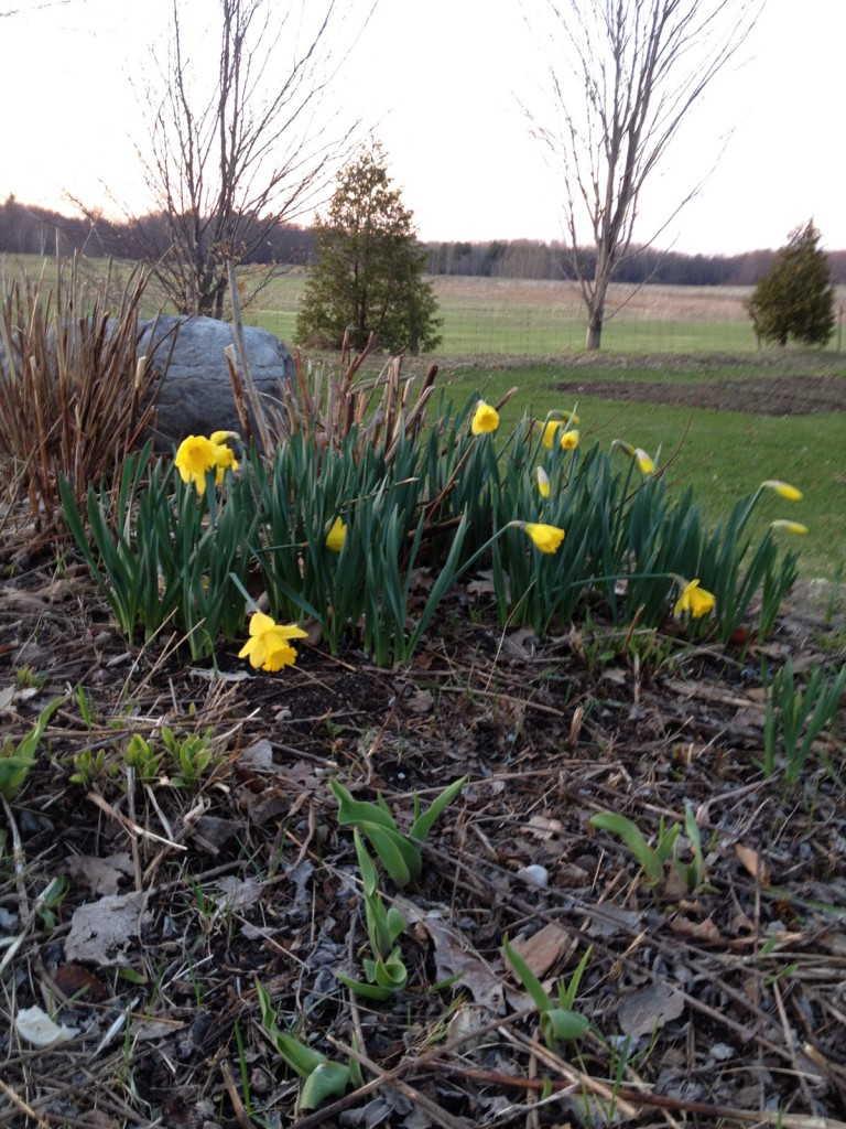 The native/non-native mixed garden with some early blooming yellow daffs and a mix of debris keep all the plants protected and nourished.