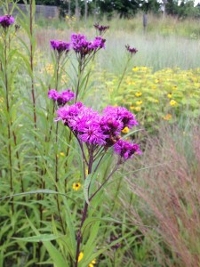 New York Ironweed (Vernonia) produces stunning spikes of rich purple blooms.