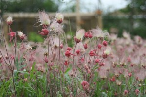 Prairie Smoke (Geum triflorum) partners well with late blooming tulips in the Springtime garden.