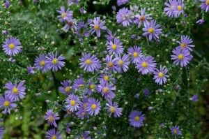Sky Blue Asters are airy, self-contained pockets of color for the fall garden.