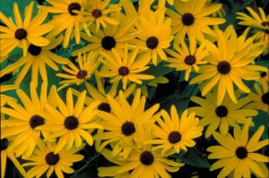 Sweet Black Eyed Susans (Rudbeckia subtomentosa) form larger and larger clumps each year.