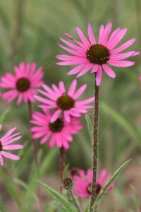Tennessee Coneflower is shorter than other Coneflowers and blooms for several months!