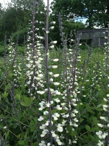 White False Indigo's striking purple stems and white blooms add drama in the early summer border.