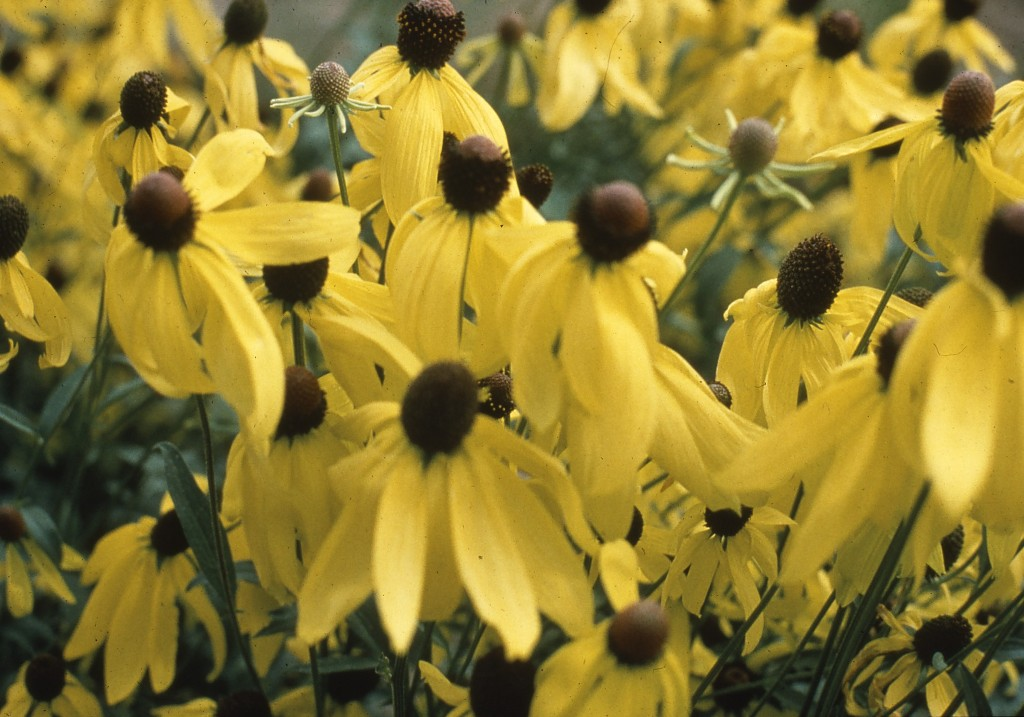 Yellow Coneflower are stunning in the summertime garden!