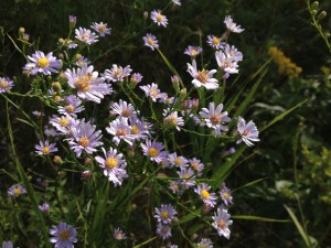 Sky Blue Asters