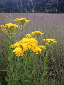 Stiff Goldenrod with a soft blue background of Little Bluestem native grass.