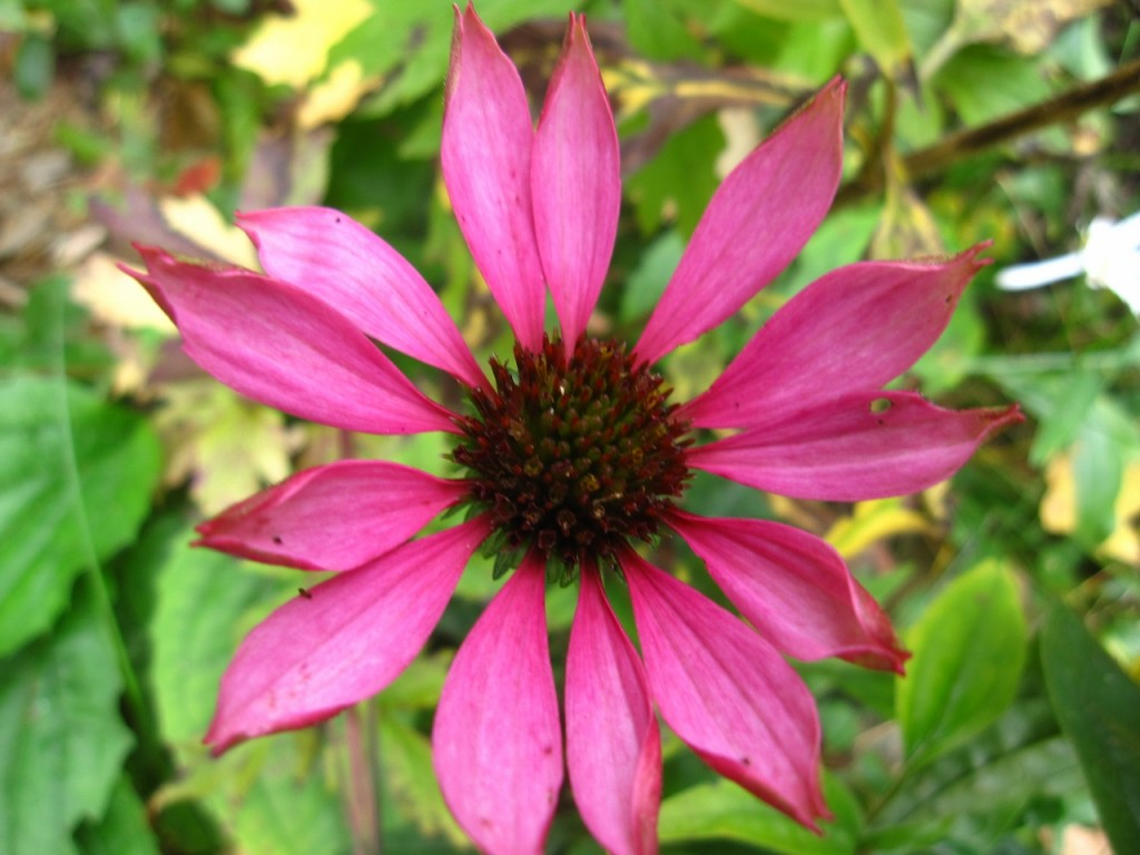 Whooo Hoo! Still time to sow wildflower seeds like this gorgeous Purple Coneflower!