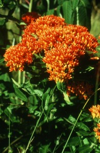 Bright orange Butterflyweed (Asclepias tuberosa) an essential plant for Monarch butterflies.