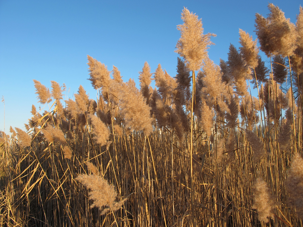 phragmites-seed-head-late-fall