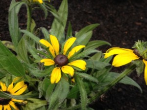 The Parklane Garden was pilled high with Wild Columbines, Smooth Penstemon, Black-Eyed Susans and Prairie Smoke