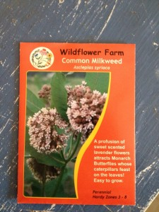 Common Milkweed, Asclepias syriaca is an essential plant for Monarch butterflies - and very easy to grow from seed.
