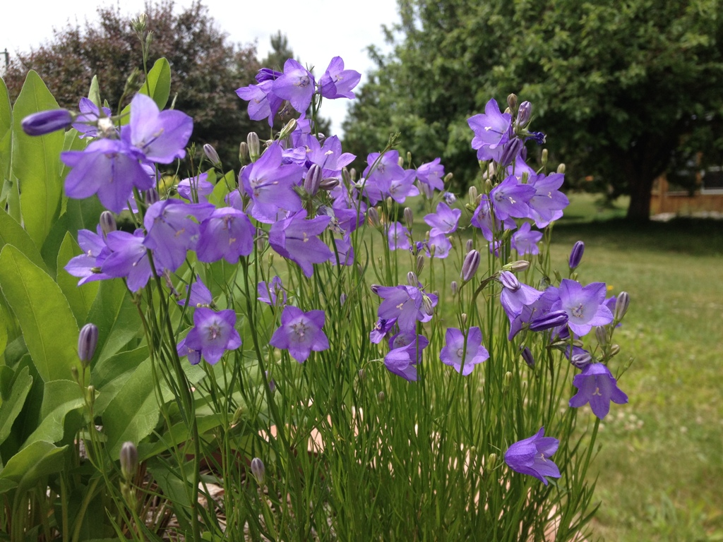 Harebells look fragile but they're tough wildflowers  that bloom in dry sun or shade and last for many days in floral arrangements.
