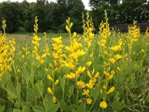 Yahoo! The Wild Indigo's in bloom!