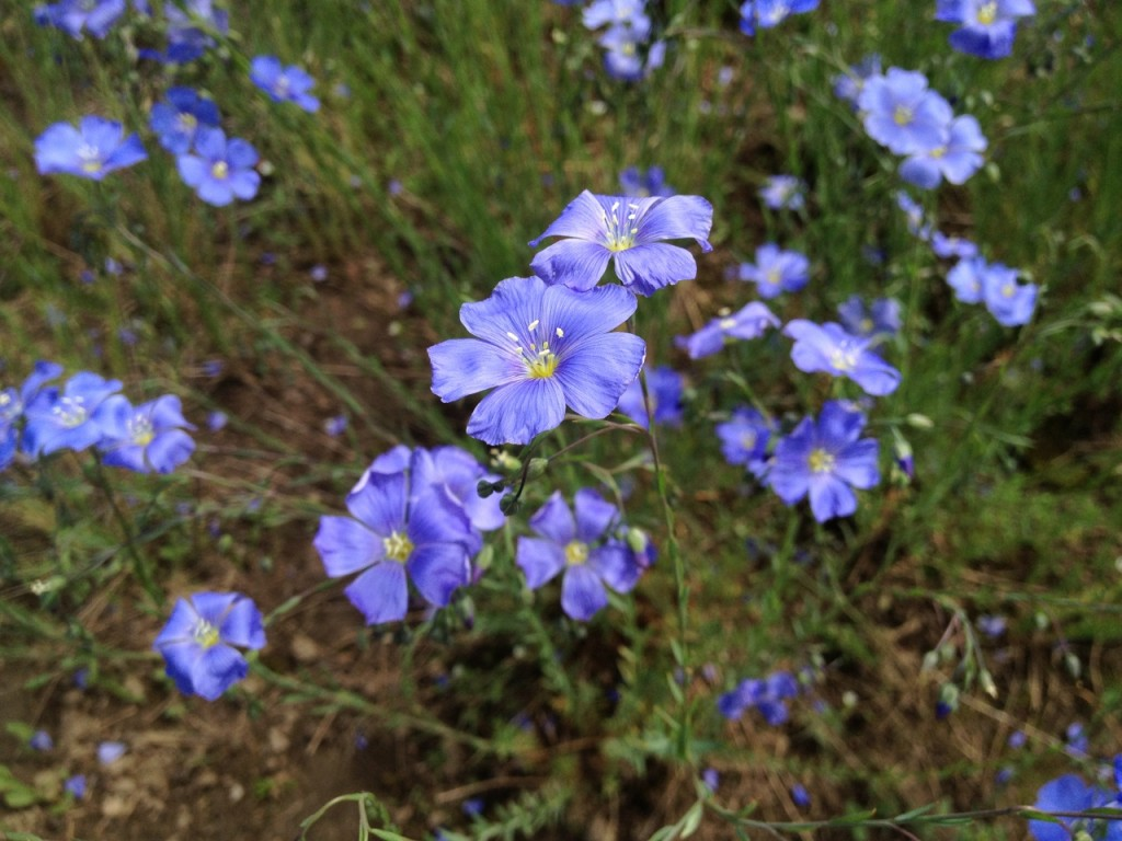 3 Scree Garden Plants - Blue Flax (1280x960)