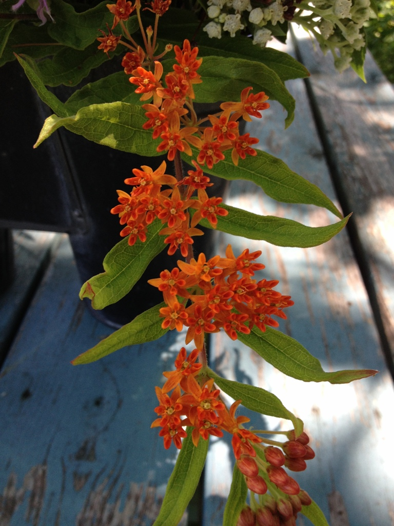 Butterfly Milkweed is an essential food for Monarch Butterflies! Love that orange!
