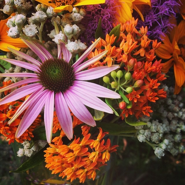 Purple Coneflower (Echinacea purpurea) and bright orange Butterflyweed (Asclepias tuberosa)