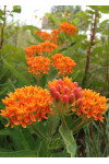Asclepias tuberosa - Butterflyweed
