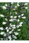 Baptisia alba - White False Indigo
