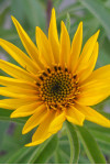 Helianthus maximiliani - Maximilian's Sunflower