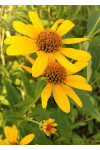 Heliopsis helianthoides - Ox-eye Sunflower
