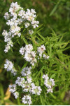Pycnanthemum virginianum - Mountain Mint