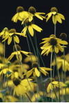 Rudbeckia laciniata - Green-headed Coneflower
