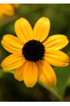 Rudbeckia triloba - Branched Coneflower