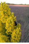Solidago speciosa - Showy Goldenrod