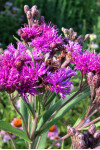 Vernonia noveboracensis - New York Ironweed