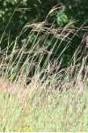 Andropogon gerardii - Big Bluestem