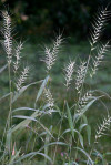 Elymus hystrix - Bottlebrush Grass