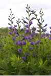 Baptisia australis - Blue False Indigo