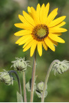 Helianthus mollis - Downy Sunflower