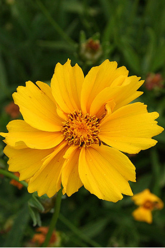 Pictures Of Flowers At Flowerinfo Org: Coreopsis Lanceolata