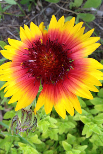 Gaillardia aristata - Blanketflower