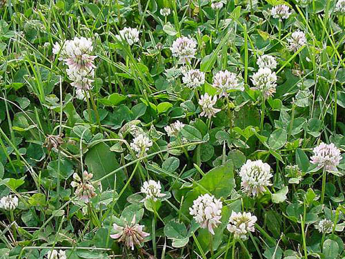 Common lawn weeds white clover mightylinksfo